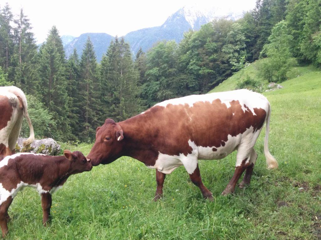 Krepper Kuh Mutterkuh Lofer Bauernhof