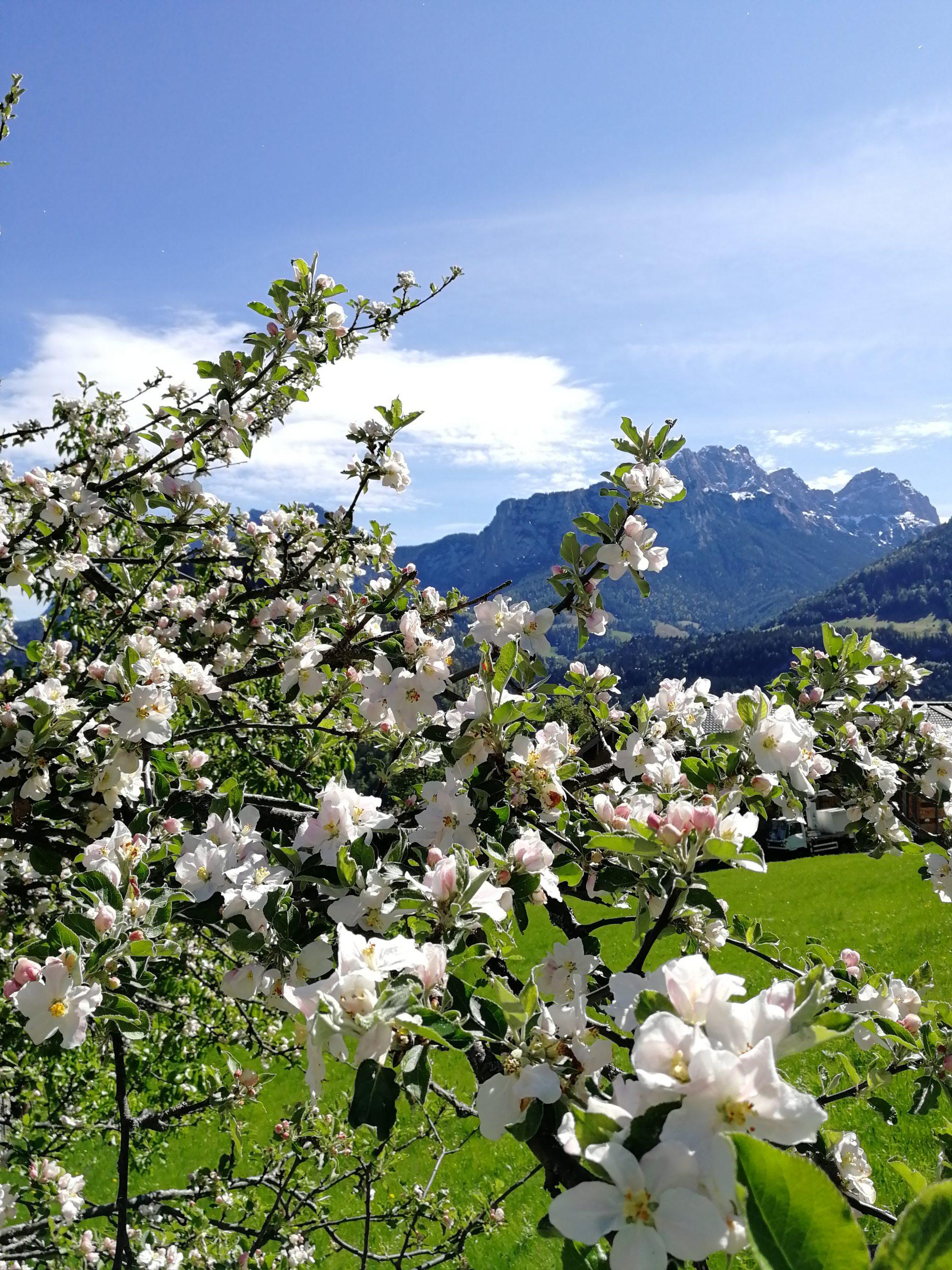 Krepper Lofer Apfelbäume