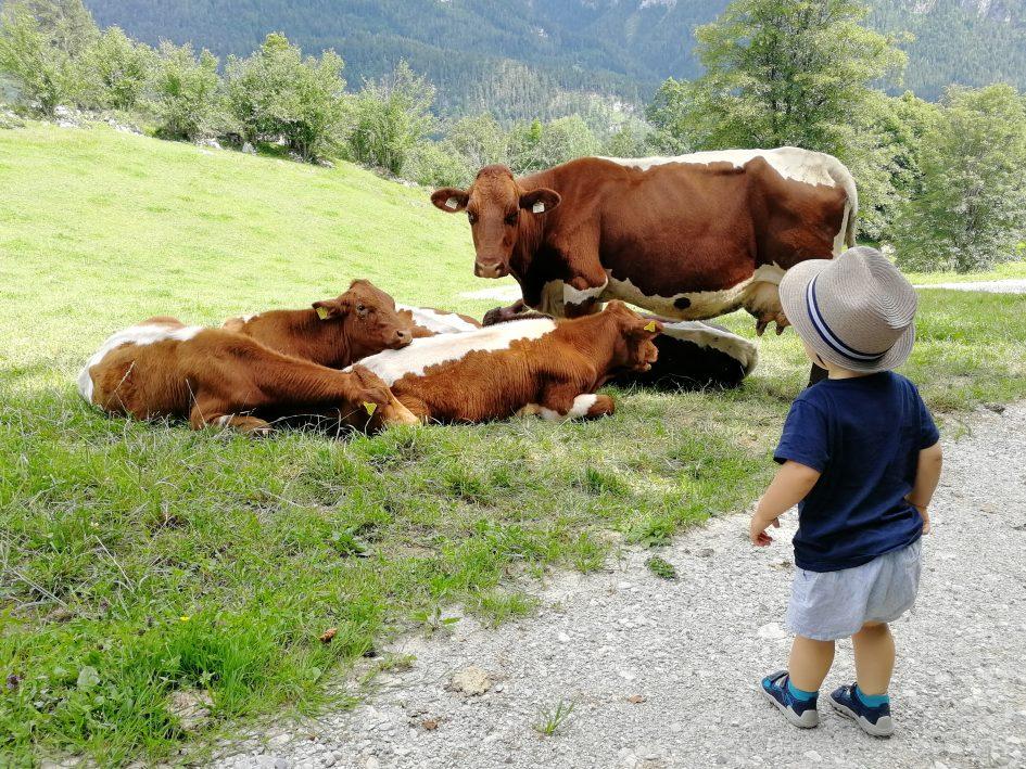 Krepper Lofer Farm Cows