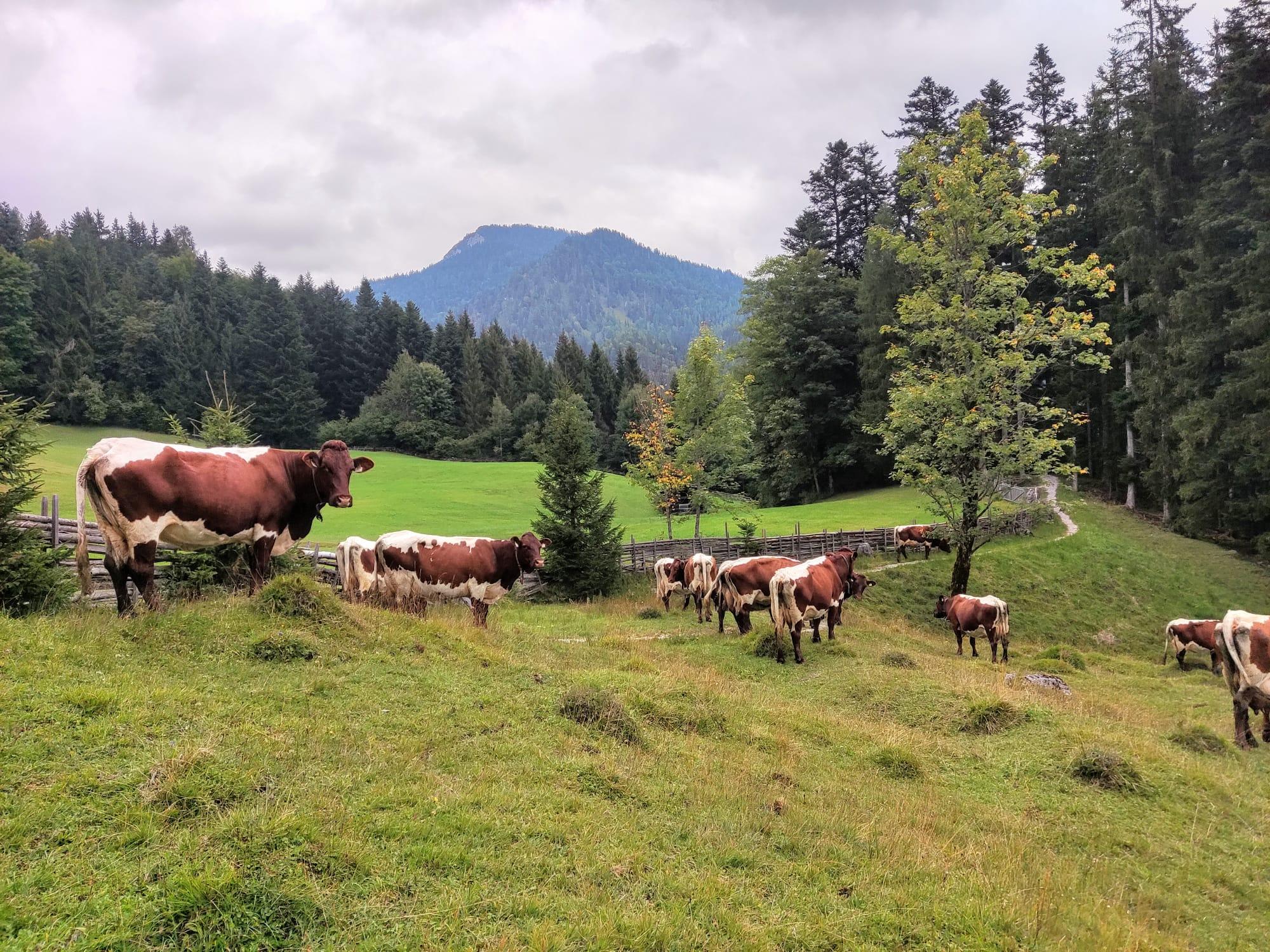 Krepper Lofer Biohof Pinzgauer Kühe Almabtrieb