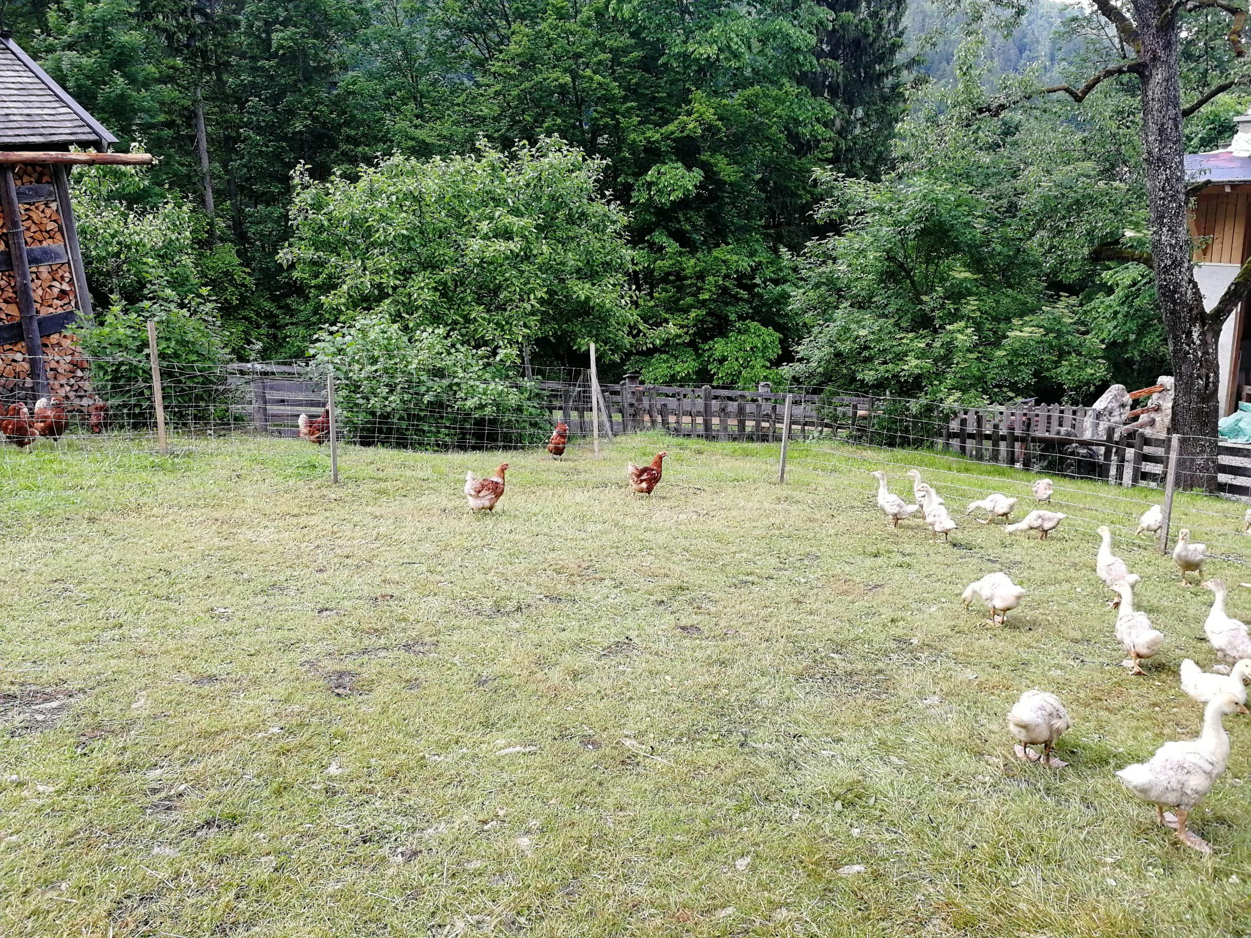 Krepper Lofer Biohof Hühner Gänse