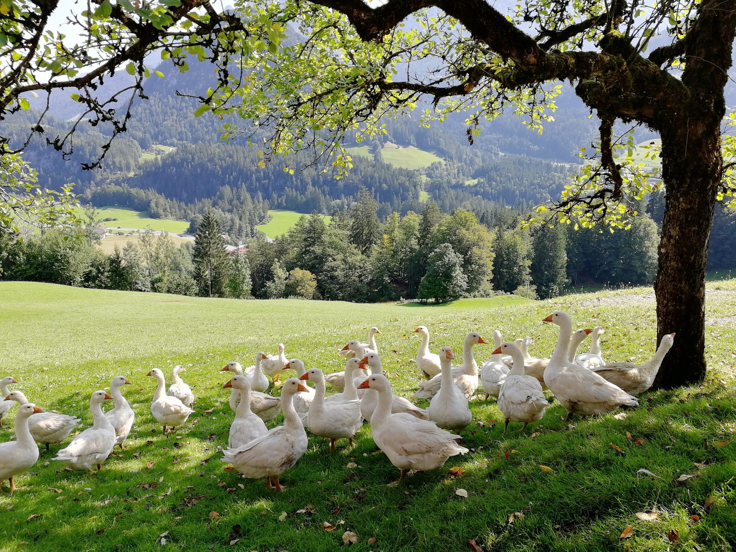 Kepper Lofer Gooses